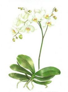Phalaenopsis, Limited Edition Giclee Print