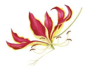 Gloriosa flower, Watercolour