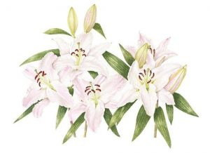 Pink Lillies, Watercolour