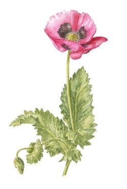 Pink poppy, Watercolour