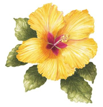 Yellow Hibiscus, Watercolour