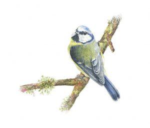 Blue Tit, Watercolour