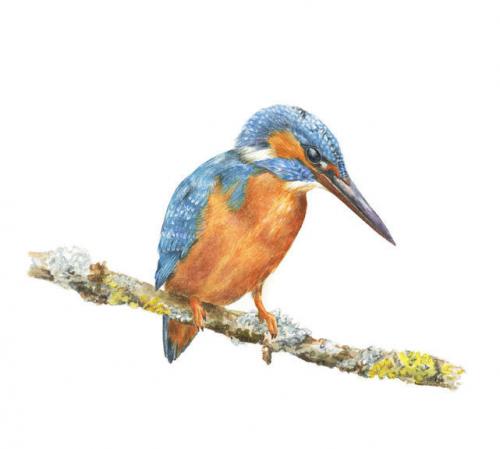 Kingfisher, Watercolour