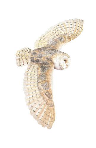 Barn Owl , Watercolour