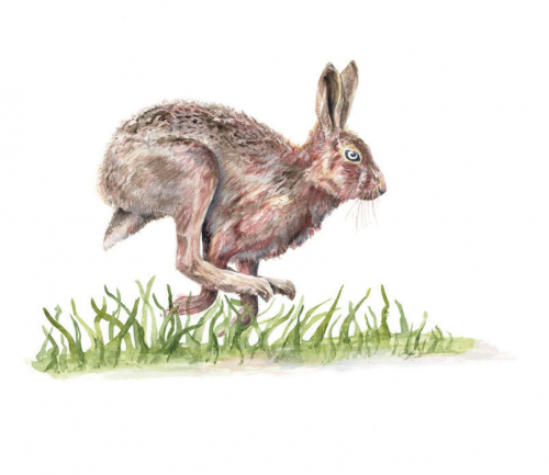 Hare Watercolour on Paper