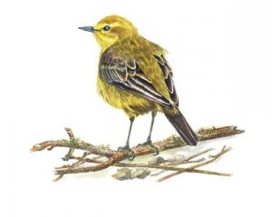 Yellow Wagtail, Watercolour