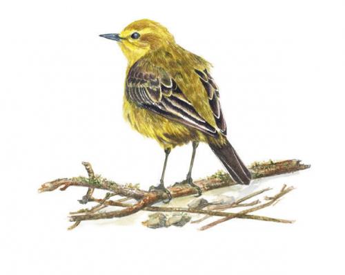 Yellow Wagtail, Watercolour