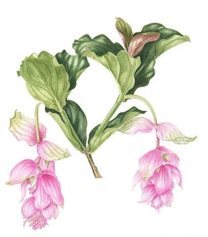 Medinilla Magnifica, Watercolour
