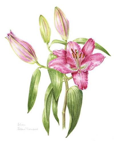 Pink Lily, Watercolour
