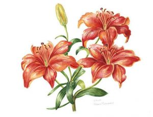 Red Lily, Watercolour