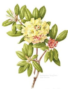 Rhododendron Nancy Evans, Watercolour