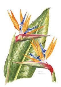 Strelizia, Watercolour
