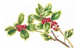Ilex x altaclarensis 'Golden King', Watercolour