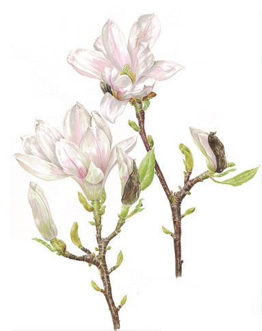 Magnolia x soulangiana, Watercolour