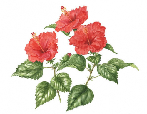 Red Hibiscus, Watercolour