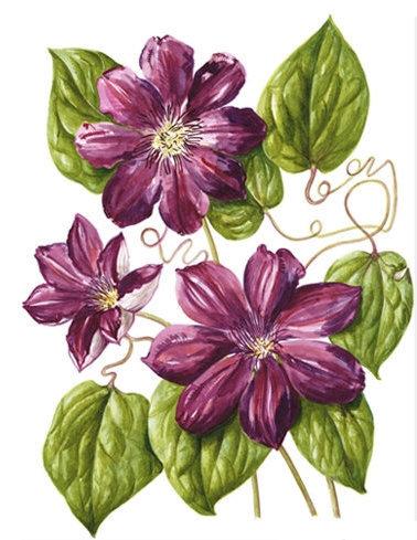 Clematis Allanah, Watercolour