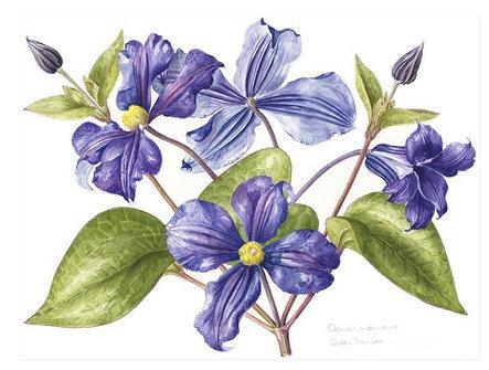 Clematis Durandii, Watercolour