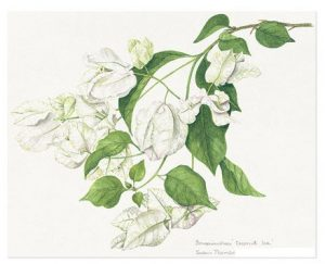 Bougainvillea 'Coconut Ice', Watercolour