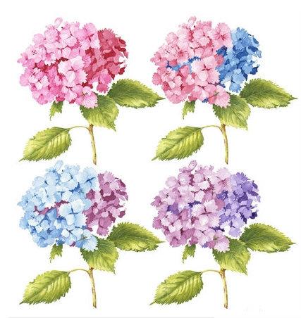 Hydrangeas x 4, Watercolour