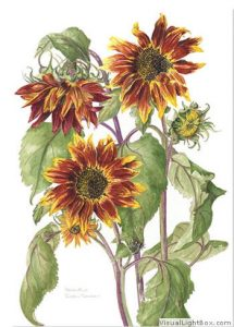Red Helianthus, Watercolour