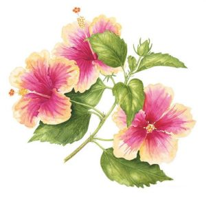 Hibiscus Marsh Mallow, Watercolour