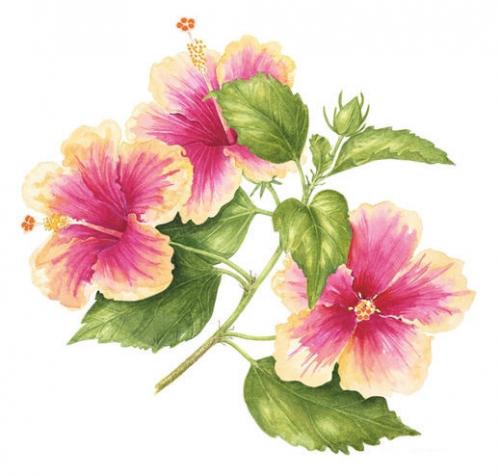 Hibiscus Marsh Mallow, Watercolour