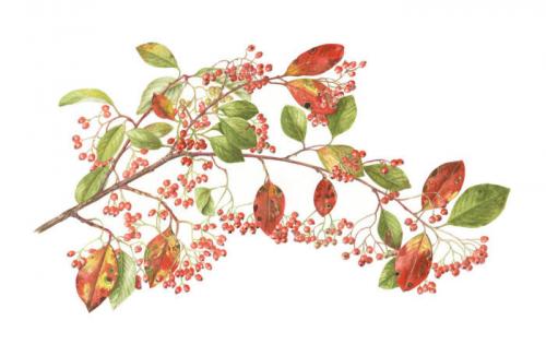 Cotoneaster, Watercolour