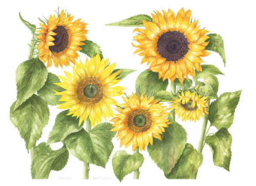 Sunflowers, Watercolour