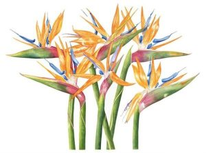 Strelitzias, Watercolour