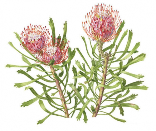 "Nutan Protea ""pincushion"", Watercolour"