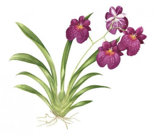 Phalaenopsis Moth Orchid, Watercolour