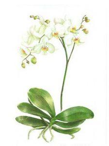 Phalaenopsis, Watercolour
