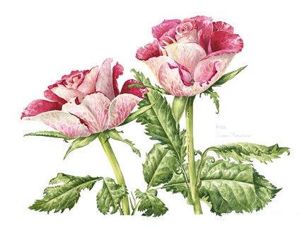 Rosa Cezanne, Watercolour Painting