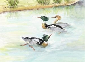 Red-breasted Mergansers, Watercolour