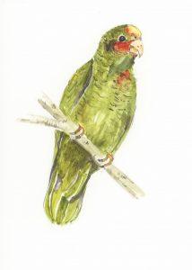 Caman Parrot, Watercolour