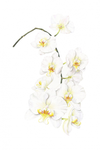 White Orchid flowers, Watercolour