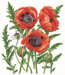 Papaver orientale 'Ladybird' , Limited Edition Giclee Print
