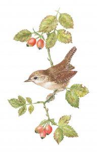 Wren, Watercolour