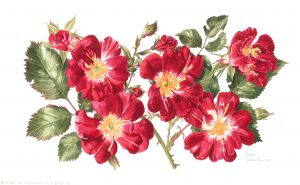 Red roses, Watercolour