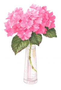 Pink Hydrangea, Watercolour