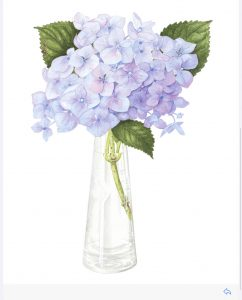 Blue Hydrangea in vase, Watercolour