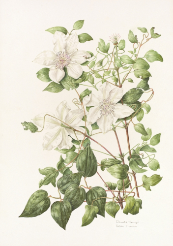 Clematis Henryi, Limited Edition Giclee Print